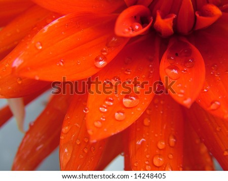 red flower macro with water droplets on the petals. - stock photo