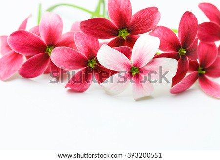 Red flower of name Rangoon creeper or Chinese honey Suckle  on white background. - stock photo