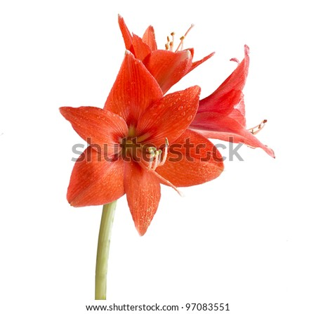 red flower of the lily - stock photo