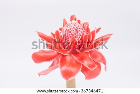 Red flower of torch ginger, etlingera elatior family zingiberaceae on white background - stock photo