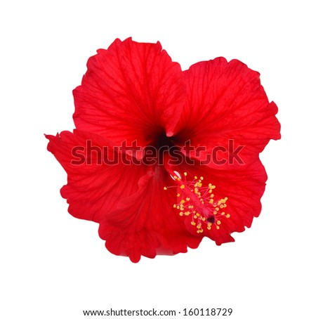 red flower of treelike Hibiscus with  petals on  stamens and leaves, isolated on white