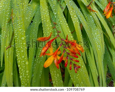 Red flower resting on blades of green leaves with water drops - stock photo