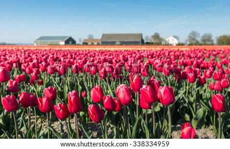 Red flowering tulip plants in the foreground at the nursery of a bulb grower in the Netherlands. - stock photo