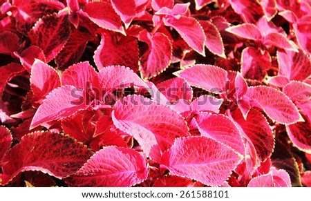 Red flowers at sun light. Red flowers background. Red leaves in city garden. - stock photo