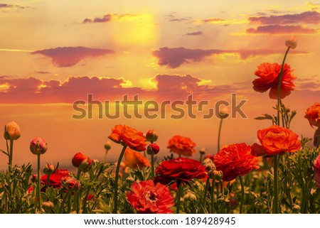 Red flowers blossoming magnificent flame sunset  - stock photo