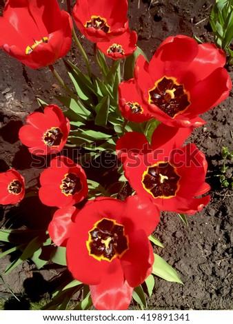 Red flowers, Bright flowers, poppy flowers growing in garden, poppy flower design, beautiful spring background with bright poppy flowers, red flower close up, poppy flower background, poppy flower art - stock photo