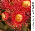 red flowers gum tree eucalyptus phytocarpa australian native with bud - stock photo