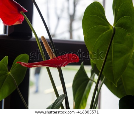 Red flowers in full blossom. Natural interior design - stock photo