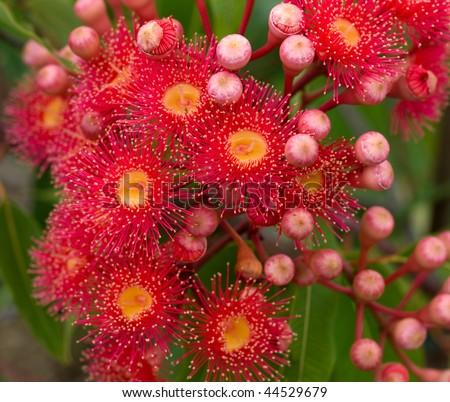 red flowers of gum tree eucalyptus phytocarpa now known as Corymbia ptychocarpa  australian native red flowering eucalypt - stock photo
