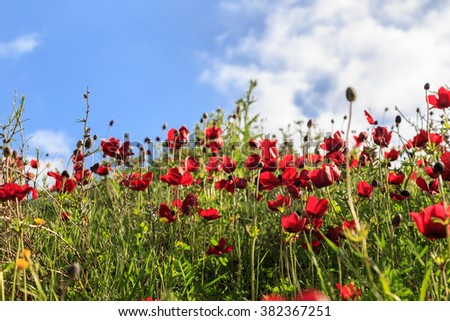 red flowers on a background of grass and sky
