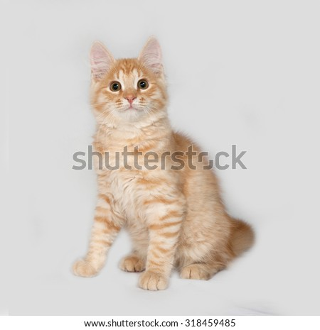 Red fluffy kitten sitting on gray background
