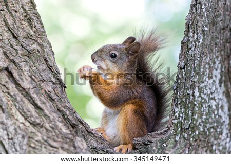 red fluffy squirrel siting on branch and eating nut