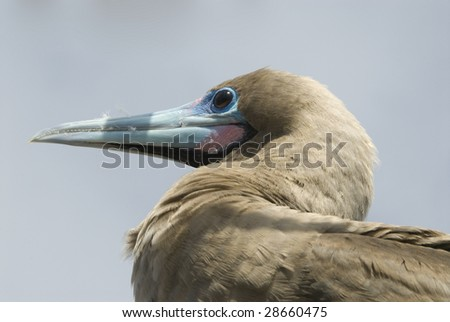 Red-footed Booby (Close-up) - stock photo