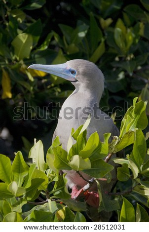 Red Footed Booby in Tree in Galapagos - stock photo