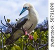 Red-footed booby on perch - stock photo