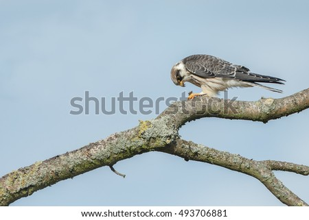 Red-footed falcon on a twig