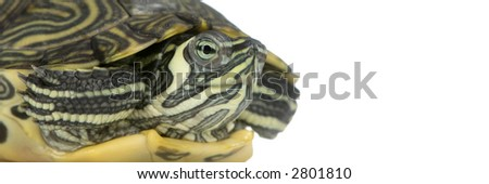 Red-footed tortoise in front of a white backgroung - stock photo