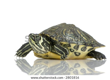 Red-footed tortoise in front of a white backgroung