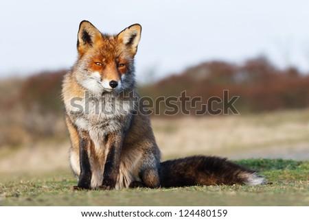 red fox - stock photo
