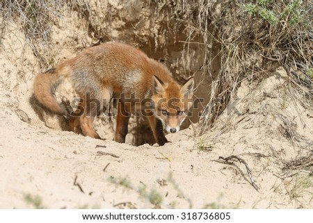 Red fox at his foxhole - stock photo