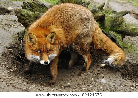 Red Fox - Caught in the process of digging out her sleeping area - UK - stock photo
