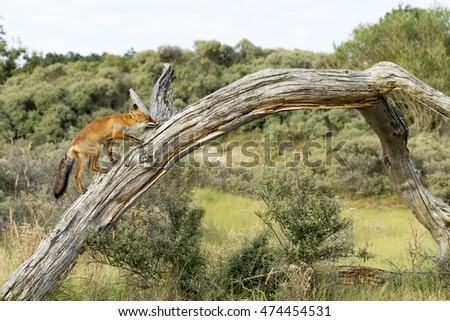 Red Fox Climbing Up A Tree