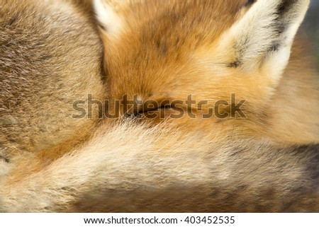 Red Fox Close Up Lying With Her Snout in Her Tail