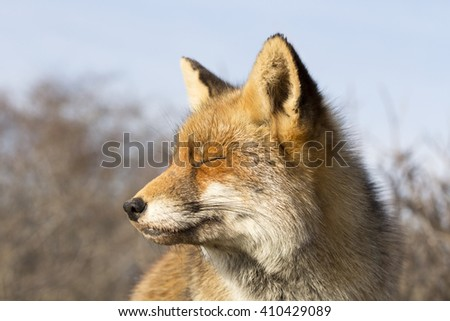 Red Fox Close Up Portrait - stock photo