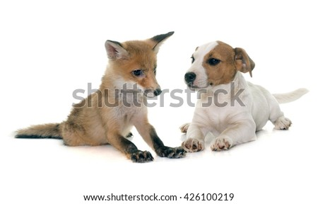 red fox cub and dog in front of white background