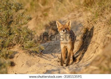Red fox cub in evening light - stock photo
