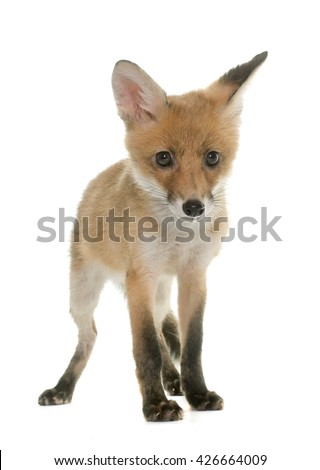 red fox cub in front of white background - stock photo
