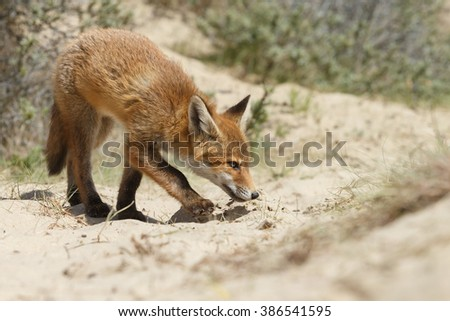 Red fox cub in nature during springtime