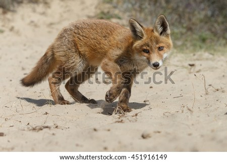 Red fox cub in nature on a springday
