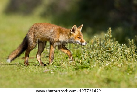 Red Fox Cub in search of? - stock photo