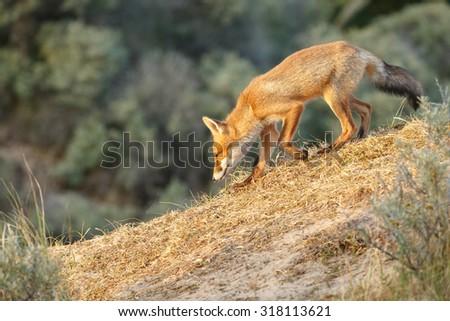 Red fox cub walking in the Dutch dunes - stock photo