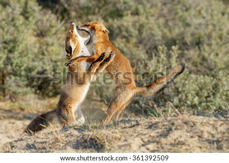 Red fox cubs fighting - stock photo