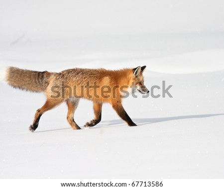Red fox during winter - stock photo