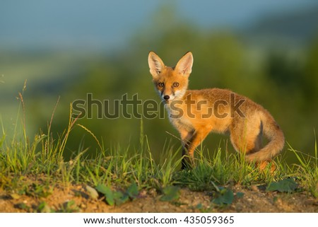 Red fox evening