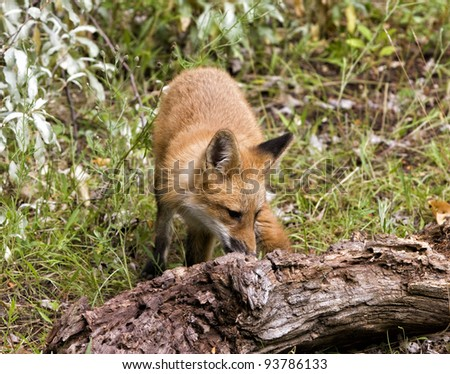 Red Fox Exploring