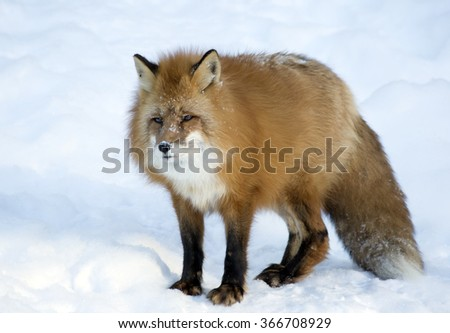 Red Fox  Externally, the Fox is an animal of medium size with an elegant body on low legs, with an elongated muzzle, pointed ears and a long bushy tail.