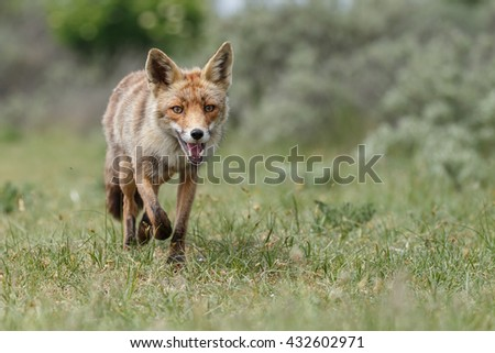 Red fox fighting in nature on a sunny day. - stock photo