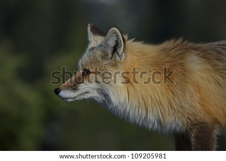 Red Fox, highly detailed profile against a smooth green background of blurred out evergreen trees, Mount Rainier National Park, Washington; Pacific Northwest wildlife / animal / nature / outdoors - stock photo
