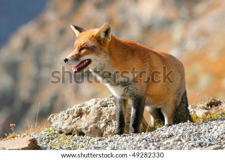 Red Fox in a mountain landscape,  blurred background - stock photo