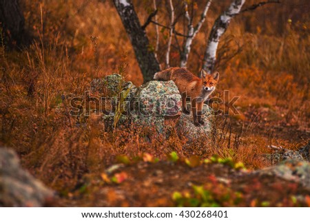 Red fox in autumn taiga - stock photo