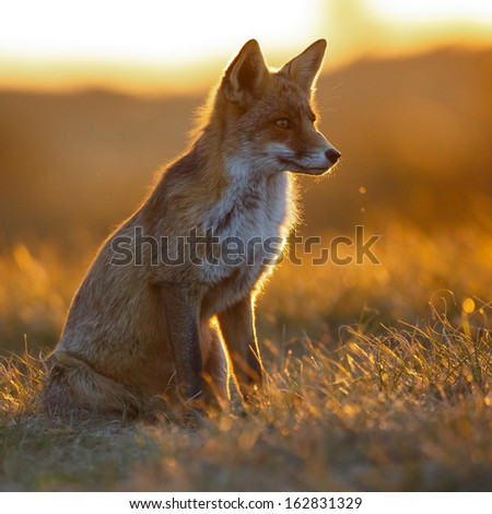 red fox in beautiful light - stock photo