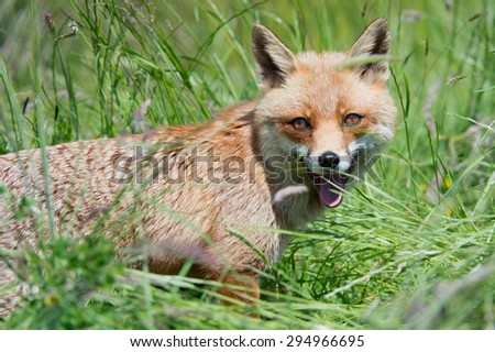 Red Fox in deep green grass/Red Fox/Red Fox (Vulpes Vulpes) - stock photo