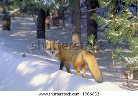 red fox in golden light 5 - stock photo
