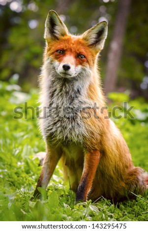 Red Fox in green grass with flowers - stock photo