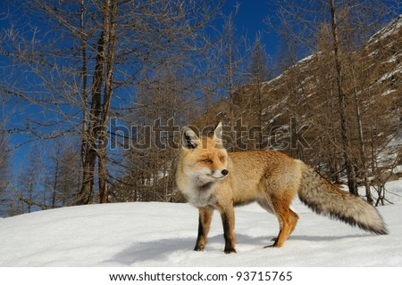 Red fox in its alpine habitat. Aosta valley, Italy. - stock photo