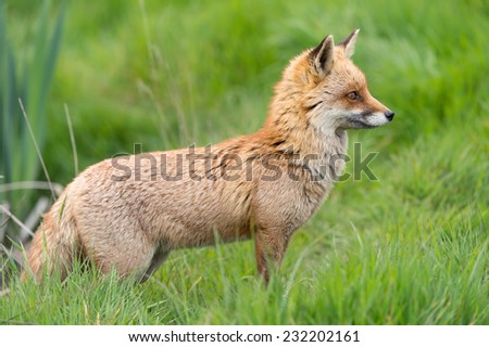 Red Fox in Long Green Grass/Red Fox/Red Fox (vulpes vulpes) - stock photo